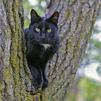 Black Cat sitting in tree