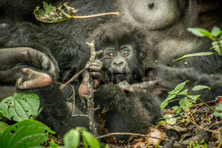 Starring baby Mountain gorilla in the Virunga National Park.