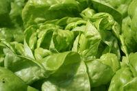 Blatt Salat