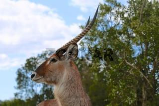 a portrait of a waterbuck at the masai mara national park kenya