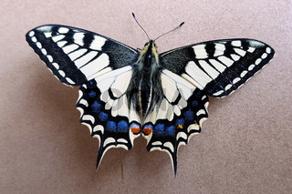 Schwalbenschwanz; Papilio; machaon; Schmetterling; Tagfalter