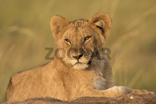 lion ,Panthera leo,Loewe,Löwe,Jungtier,