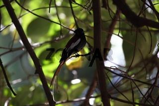 Graubrust-Paradiesschnäpper (Terpsiphone viridis)