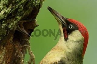 Grünspechtmännchen am Nest füttert Jungvogel