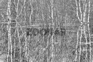 Birken spiegeln sich im Wasser, Lappland