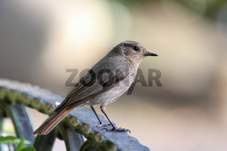 Juveniler Gartenrotschwanz. Juvenile Common Redsta