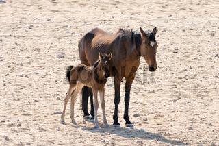 Wild horse with kitten near garub, namibia