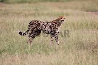a cheetah hunting at the masai mara national park kenya