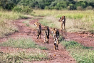 a cheetah family hunting at masai mara national park kenya