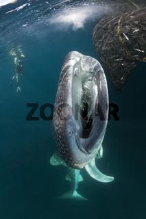 Fressender Walhai, Indonesien