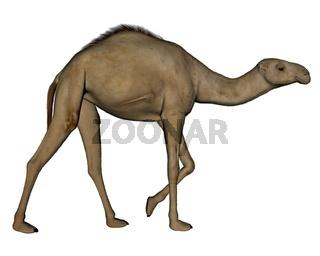 Camel walking- 3D render