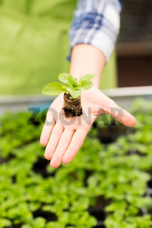 close up of woman hand holding seedling sprout