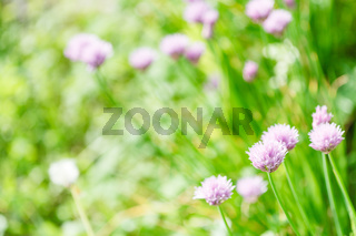 pink flowers of chives herb on green summer meadow