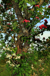 Pink hawthorn, Crataegus 'Paul's Scarlett', Rotdorn