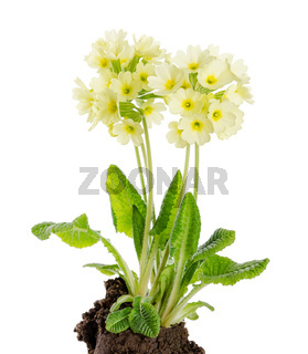 Hohe Schlüsseblume, Primula Elatior