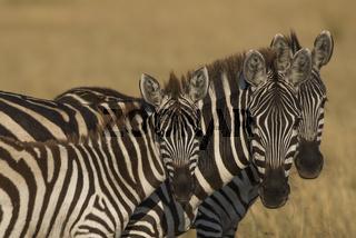 Equus quagga,Steppenzebrea,Plains zebra,