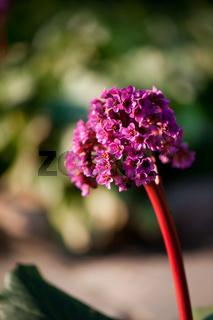 Bergenia flowering plant in spring