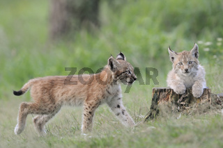 Geschwister... Jungluchse *Lynx lynx*