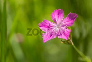 Wild Dianthus Armeria