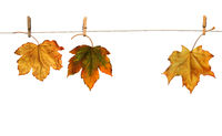 Maple branch hanging on clothesline isolated
