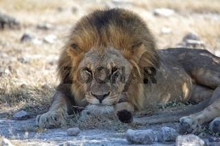 lion having rest in etosha national park namibia