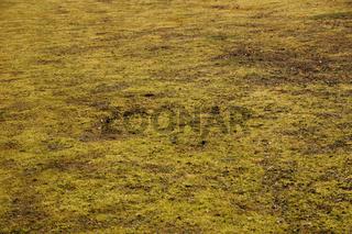 Moos im Rasen, Moss in lawn