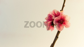 Peach blossom on white
