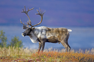Male Caribou Grazing on Toklat River Basin