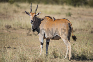 Taurotragus,Common eland,Elenantilopen