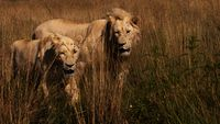 Lion couple in nature