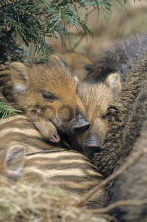 Wildschweinfrischlinge schlafen neben der Bache - (Schwarzwild - Wildschwein) / Wild Boar piglets sleeping next to their dam - (Wild Hog - Wild Boar) / Sus scrofa