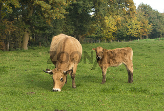 Cow with calf on a meadow grazing_North Rhine-Westphalia_Germany
