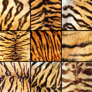collection of tiger stripes
