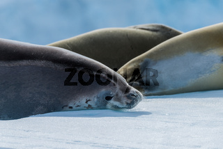 Crabeater seal looking at camera beside others