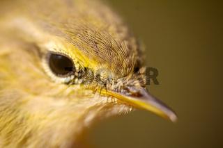 Closeup portrait of  willow warbler (Phylloscopus trochilus).