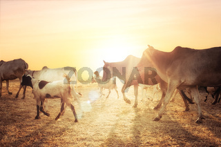 Rural asian landscape with cows and goats at sunset meadow