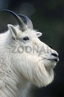Schneeziegenbock steht auf einem Felsvorsprung  beobachtet die Umgebung - (Bergziege) / Mountain Goat billie standing on a rock shelter  observing his environment - (Rocky Mountain Goat) / Oreamnos americanus