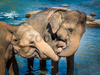 Elephants bathing in a river
