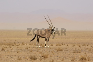 oryx in the namib naukluft desert namibia