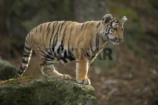 auf dem Felsen... Königstiger *Panthera tigris tigris*