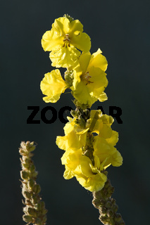Grossbluetige Koenigskerze blueht nur einmal - (Wollblume) / Denseflower Mullein is a plant species of the genus Verbascum - (Great Mullein) / Verbascum densiflorum