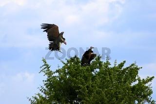 couple at lappet-faced vulture at the masai mara national park kenya