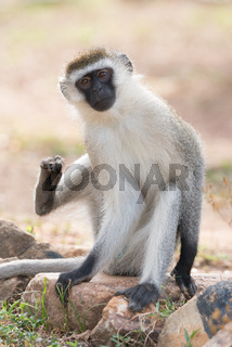 Male vervet monkey about to scratch himself