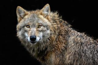 Die Wölfin II