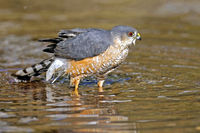 Sharp-shinned Hawk standing in a paddle