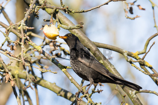 Commonb blackbird eating in an apple tree