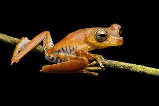 Neotropischer Baumfrosch (Hypsiboas fasciatus)