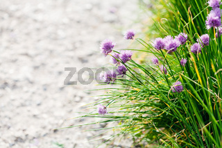 grass and pink chives flowers on edge of pathway
