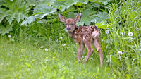 Newborn Mule Deer Fawn standing in grass, watching