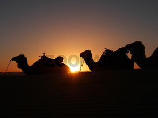 Sonnenuntergang mit Dromedaren in der Wüste Erg Chebbi in Marokko